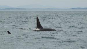 Wild-killer-whales